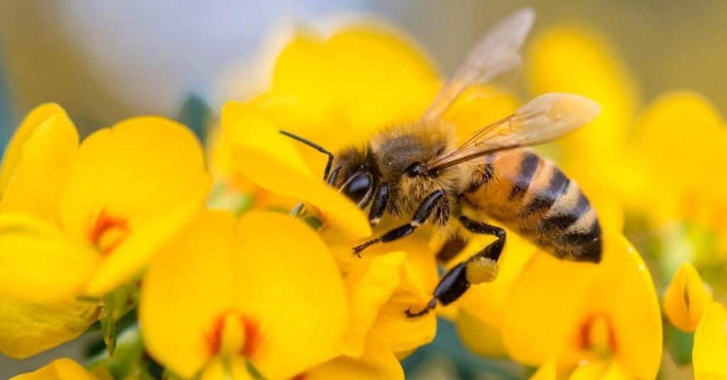 Abeille pour article sur la propolis bio-blog du Beaupré Biomonde