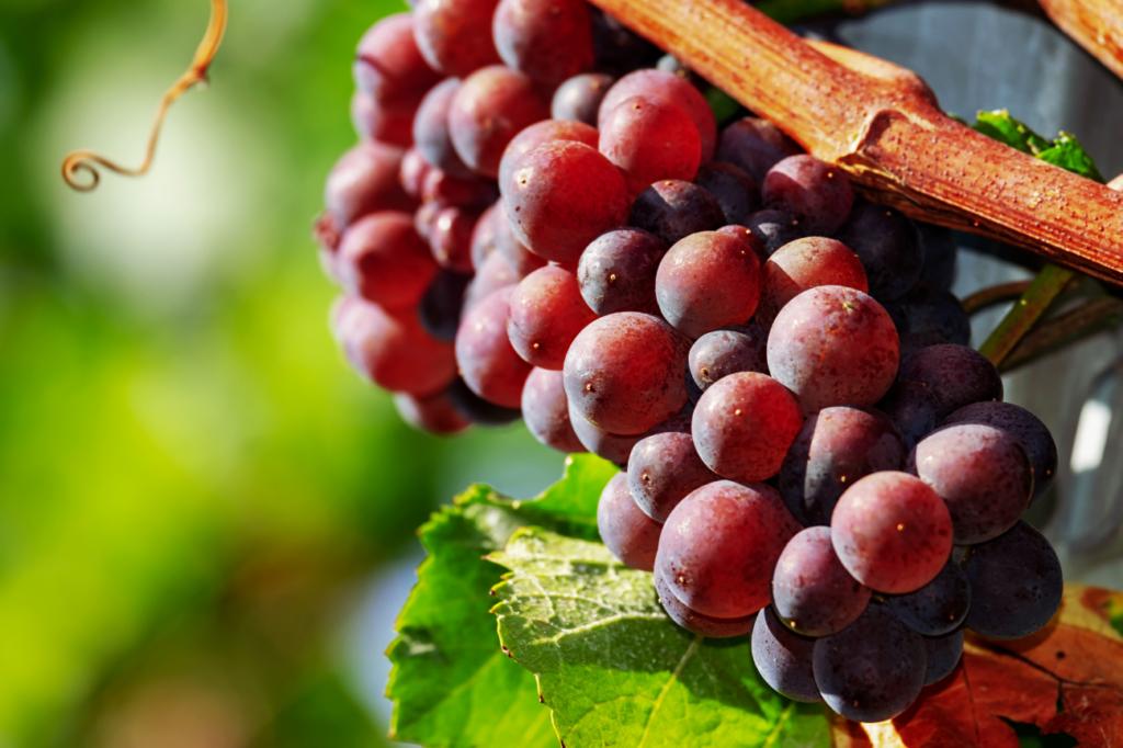 grappe de raisin bio au soleil le beaupré Biomonde saujon