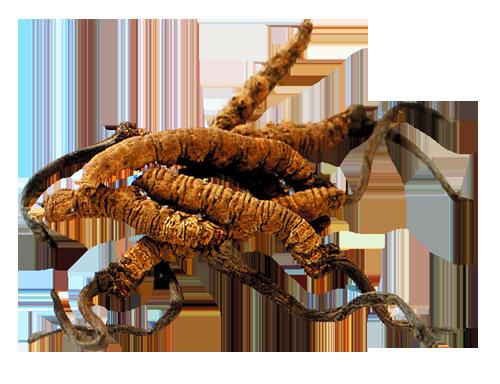 Cordyceps - Bienfaits et vertus des champignons médicinaux chinois