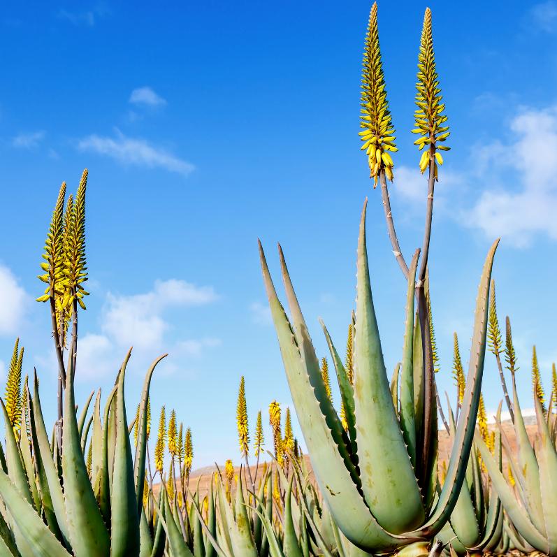 Les bienfaits de la plante Aloe vera
